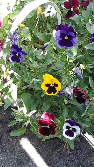 Our beautiful pansies!